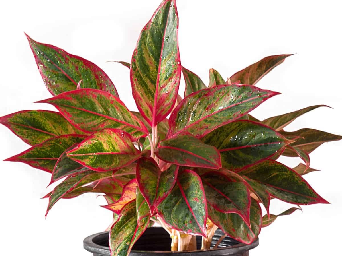 Chinese evergreen will spruce up any home