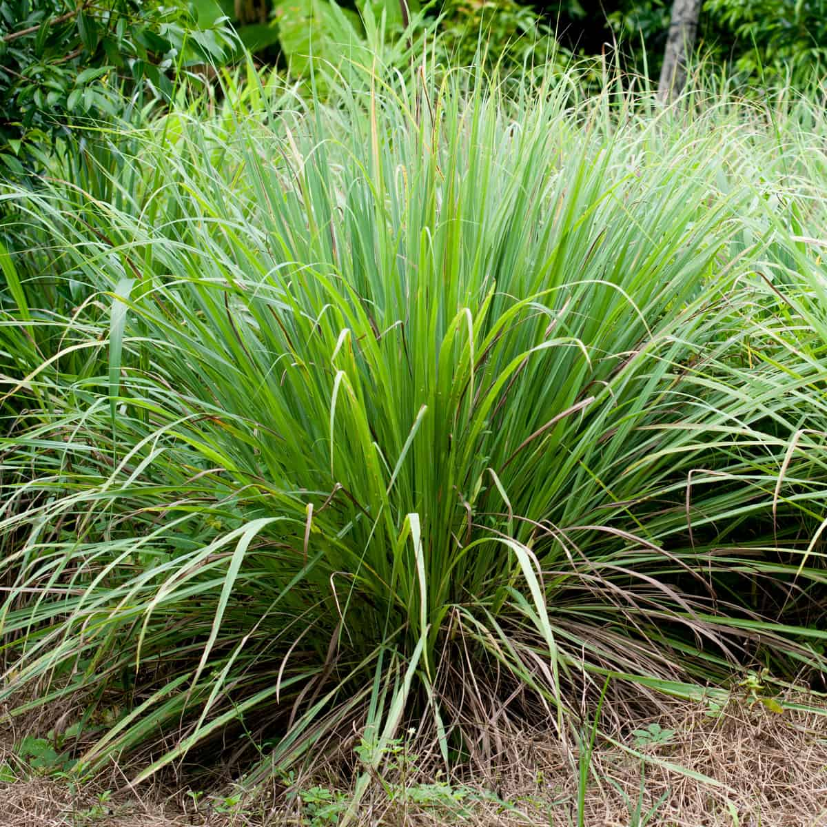 citronella grass is a great mosquito repellent