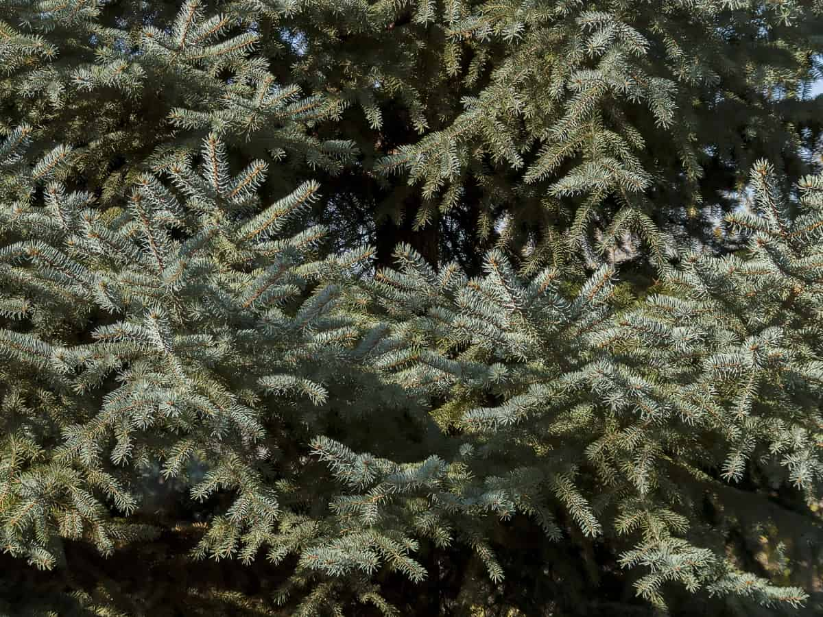 concolor fir works well for privacy for large yards