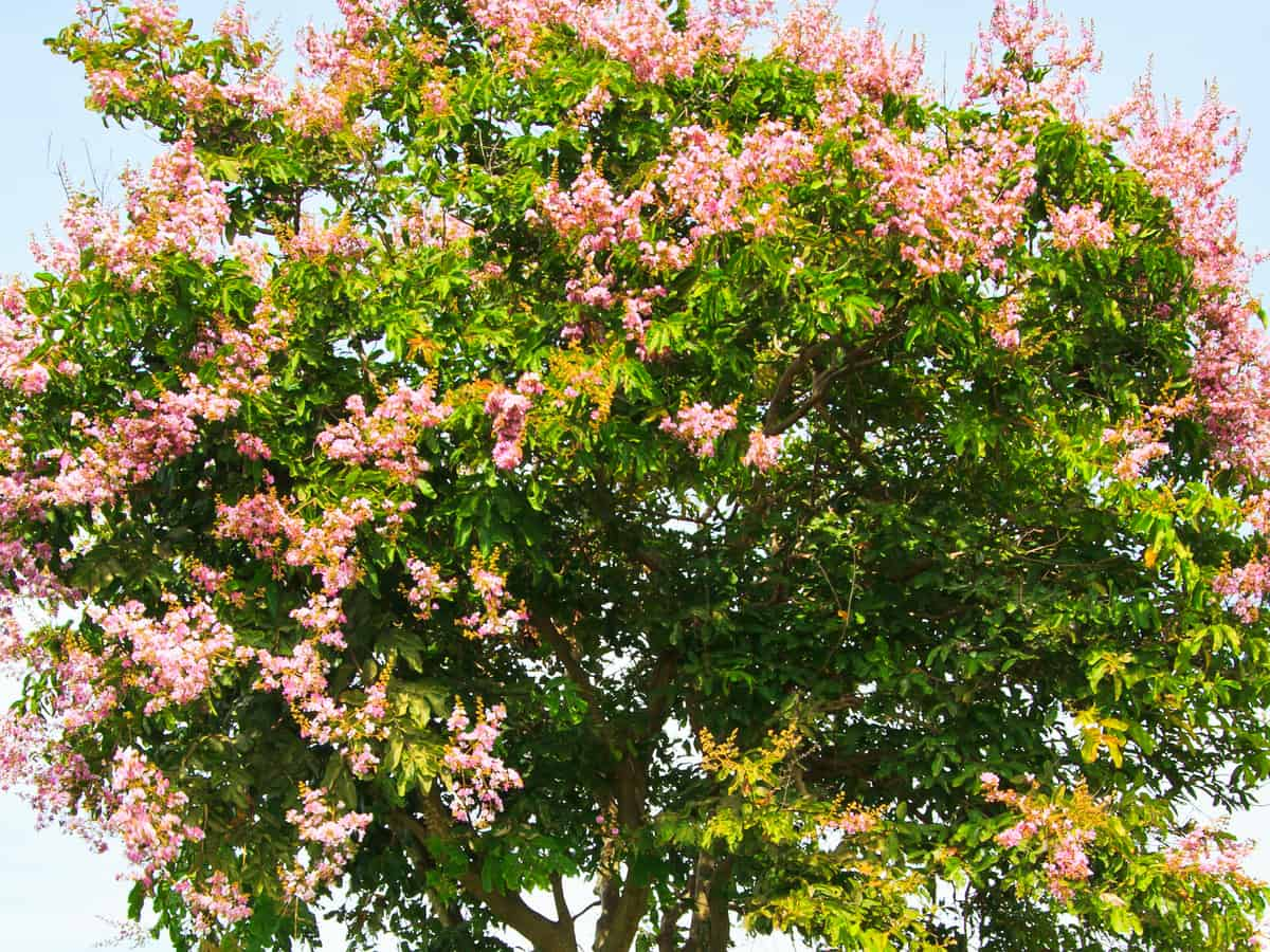 crape myrtle is a fast grower