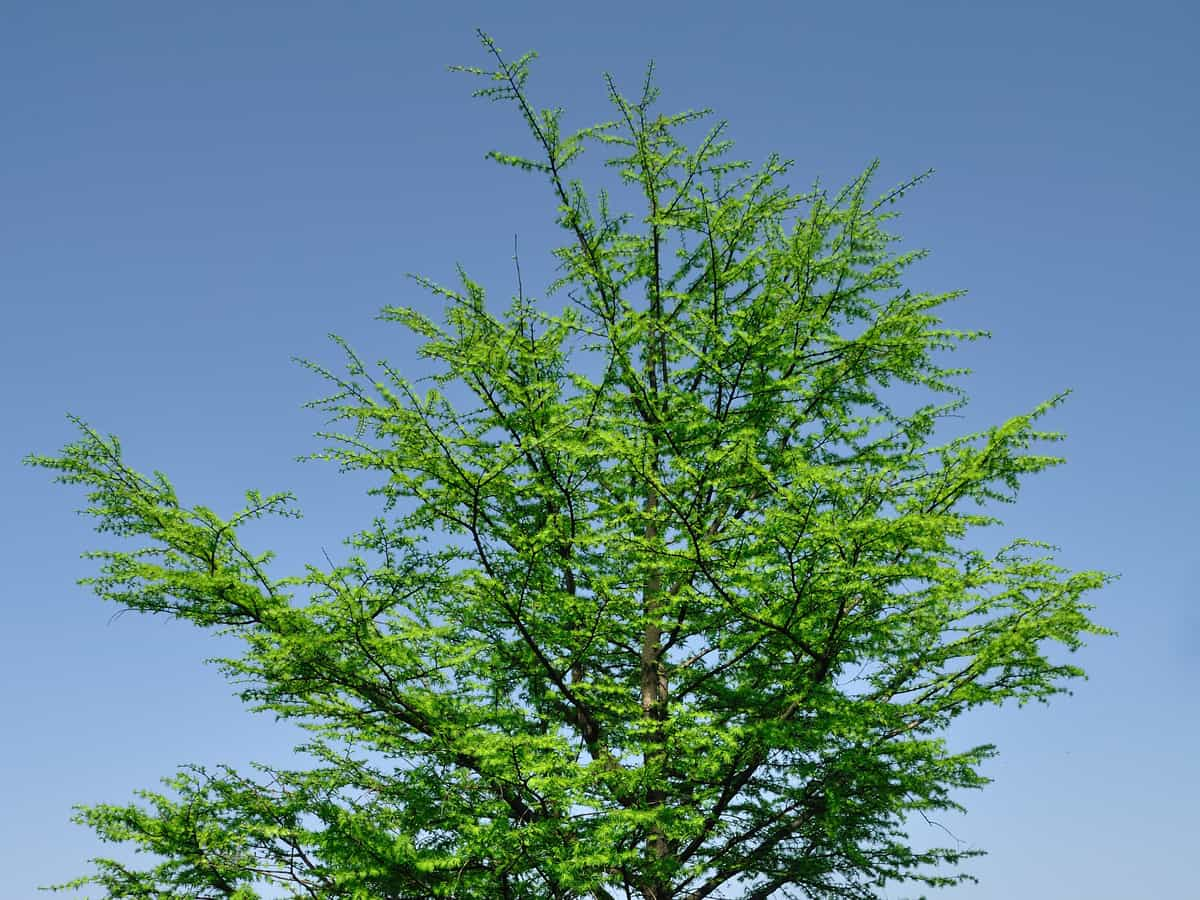 dawn redwood is fast growing and hardy