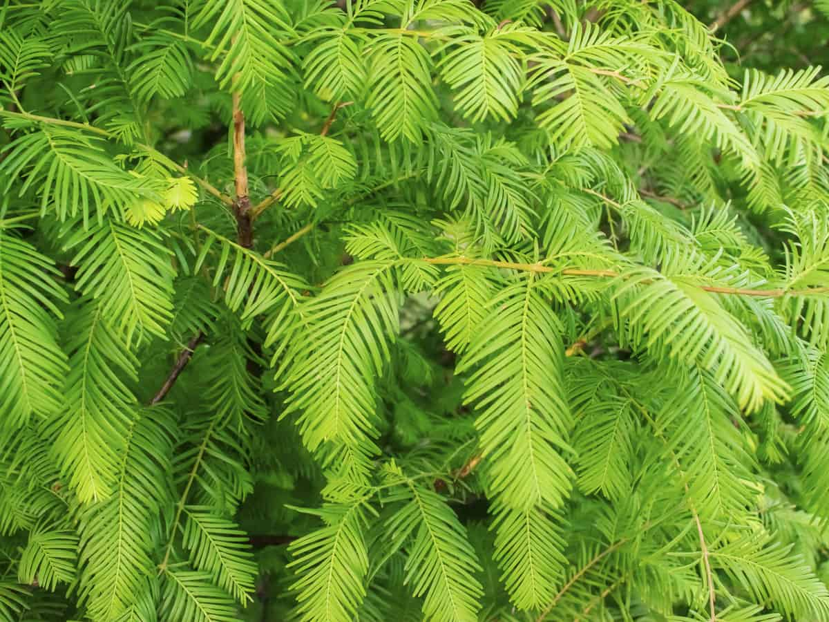 dawn redwood is a great evergreen for privacy