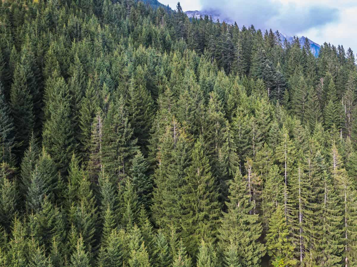 Douglas fir is beautiful in mass plantings
