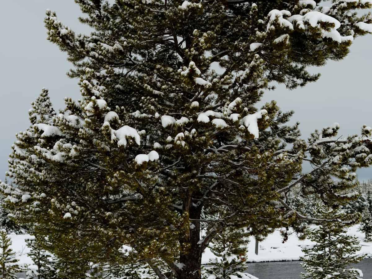 Douglas fir has blue-green foliage