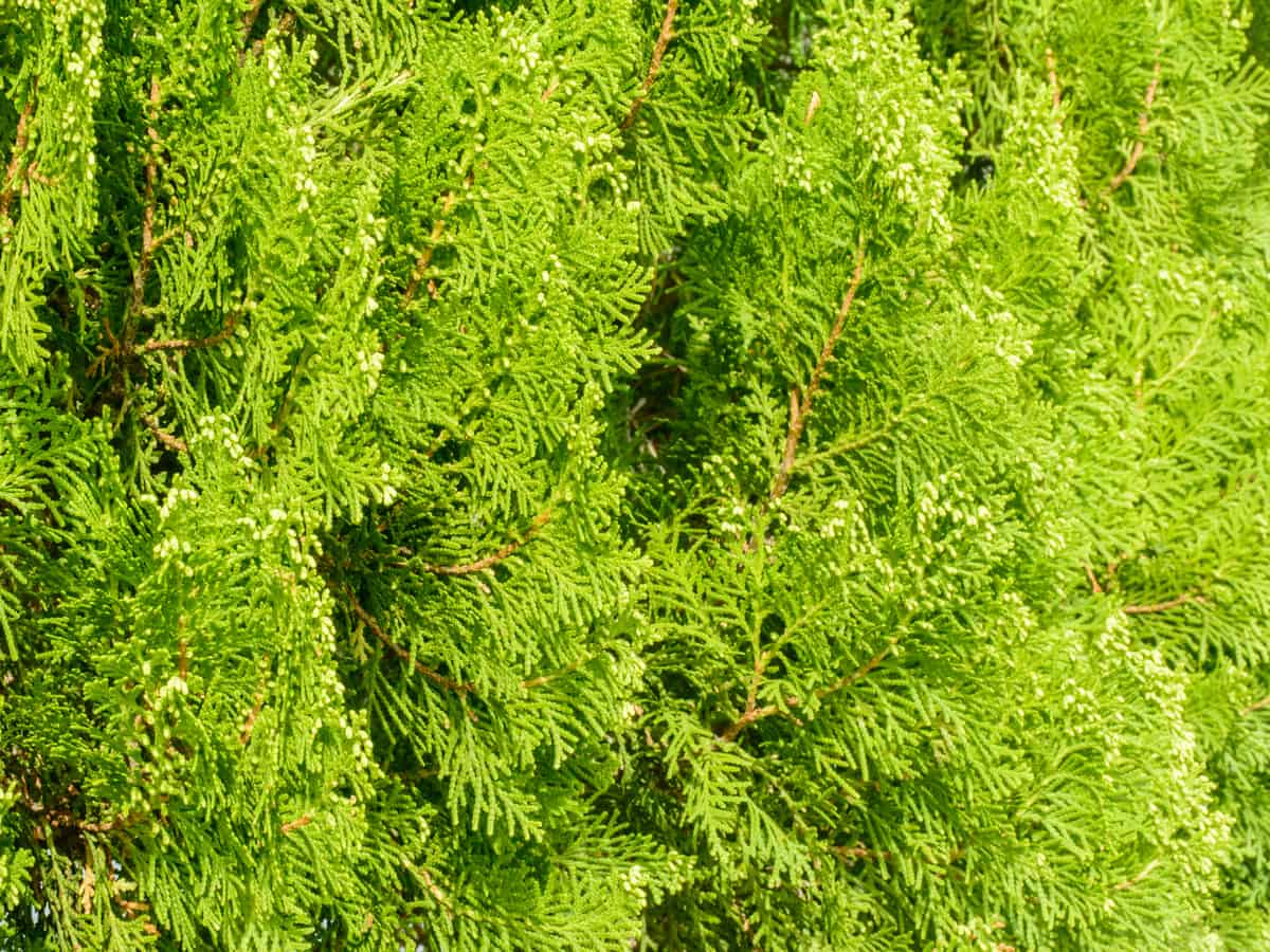 dwarf golden arborvitae grows only five feet tall