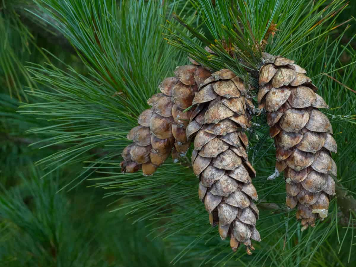 Eastern white pine hides lots of things