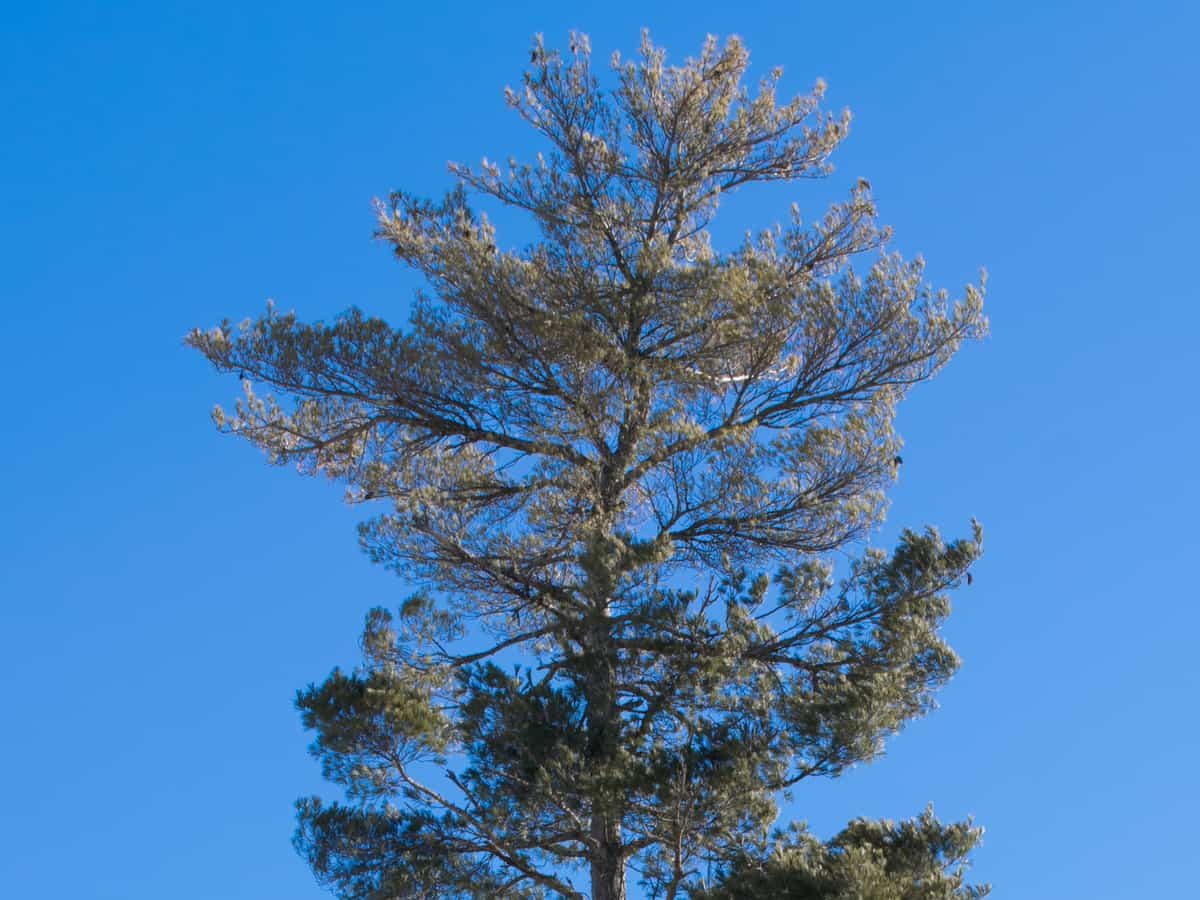 Eastern white pine is an ornamental tree that grows fast