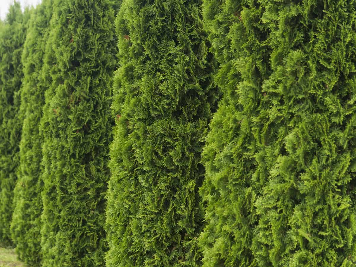 Emerald green evergreen hides the neighbors