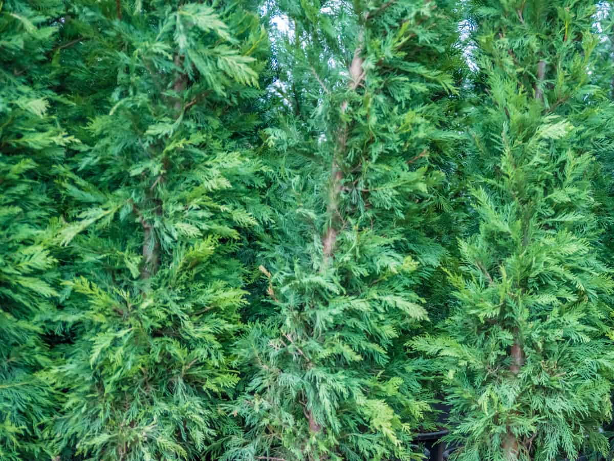 emerald green Thuja is great for small yards