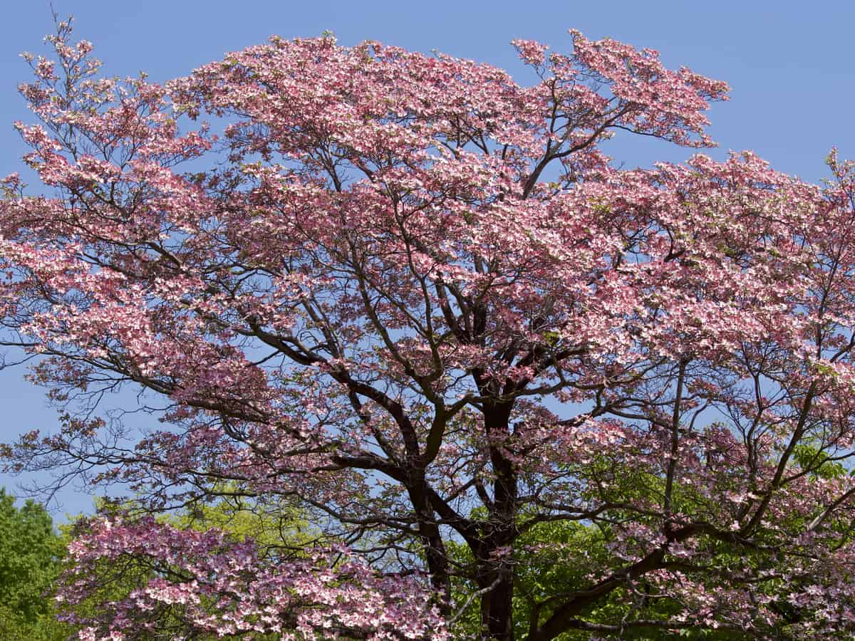 flowering dogwood offers a beautiful display in spring
