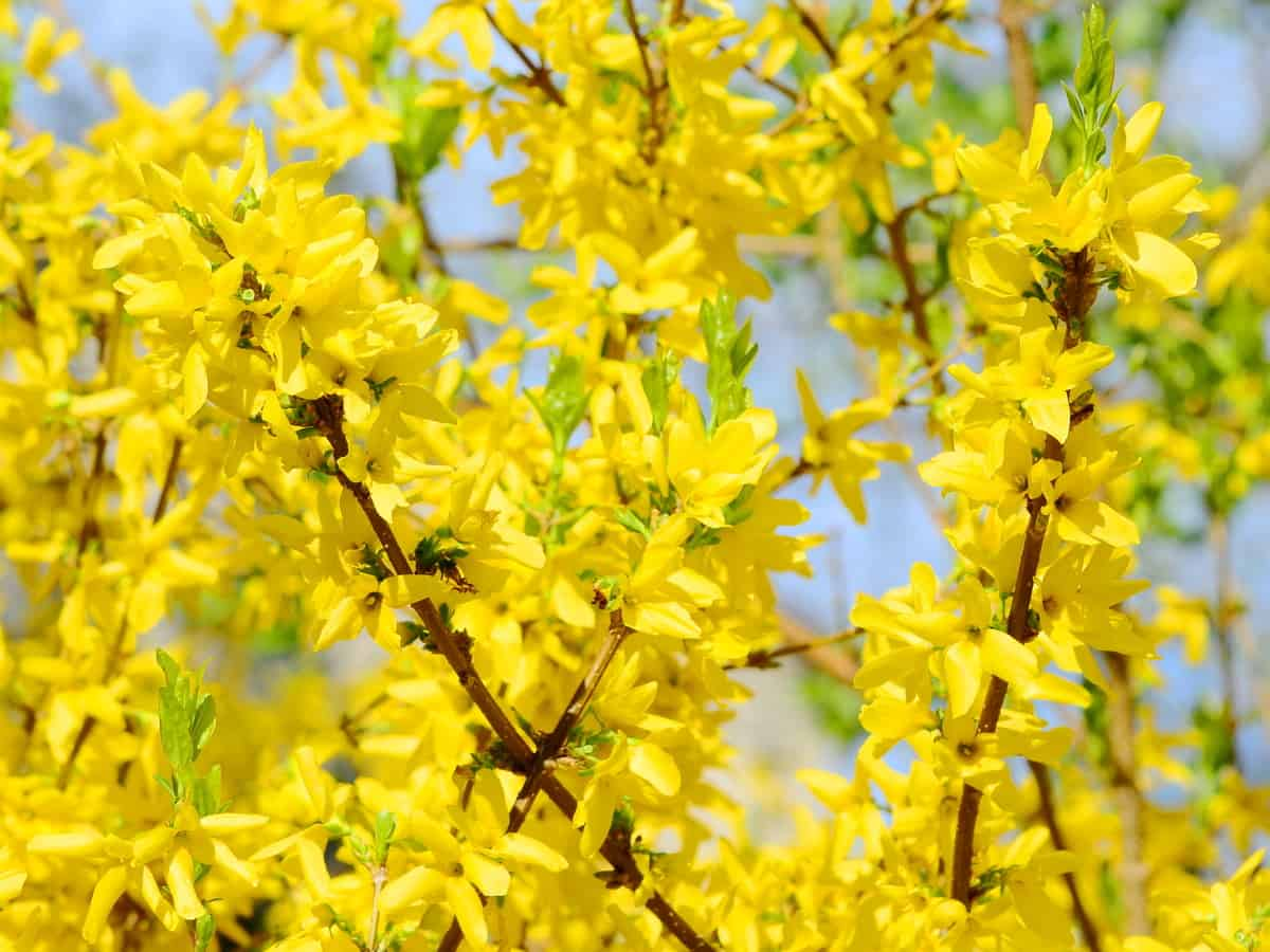 forsythia makes a gorgeous privacy hedge