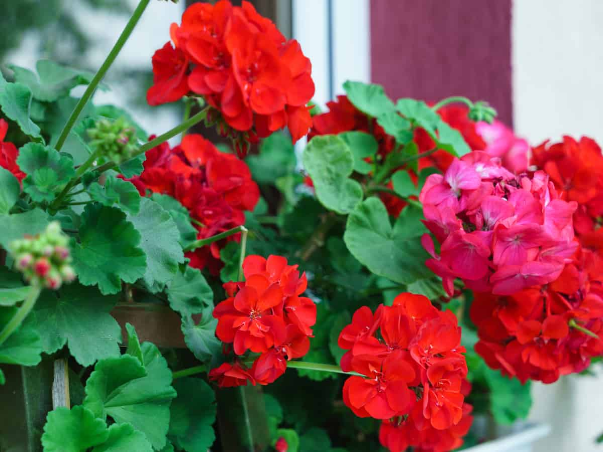 geraniums are mosquito repellent plants