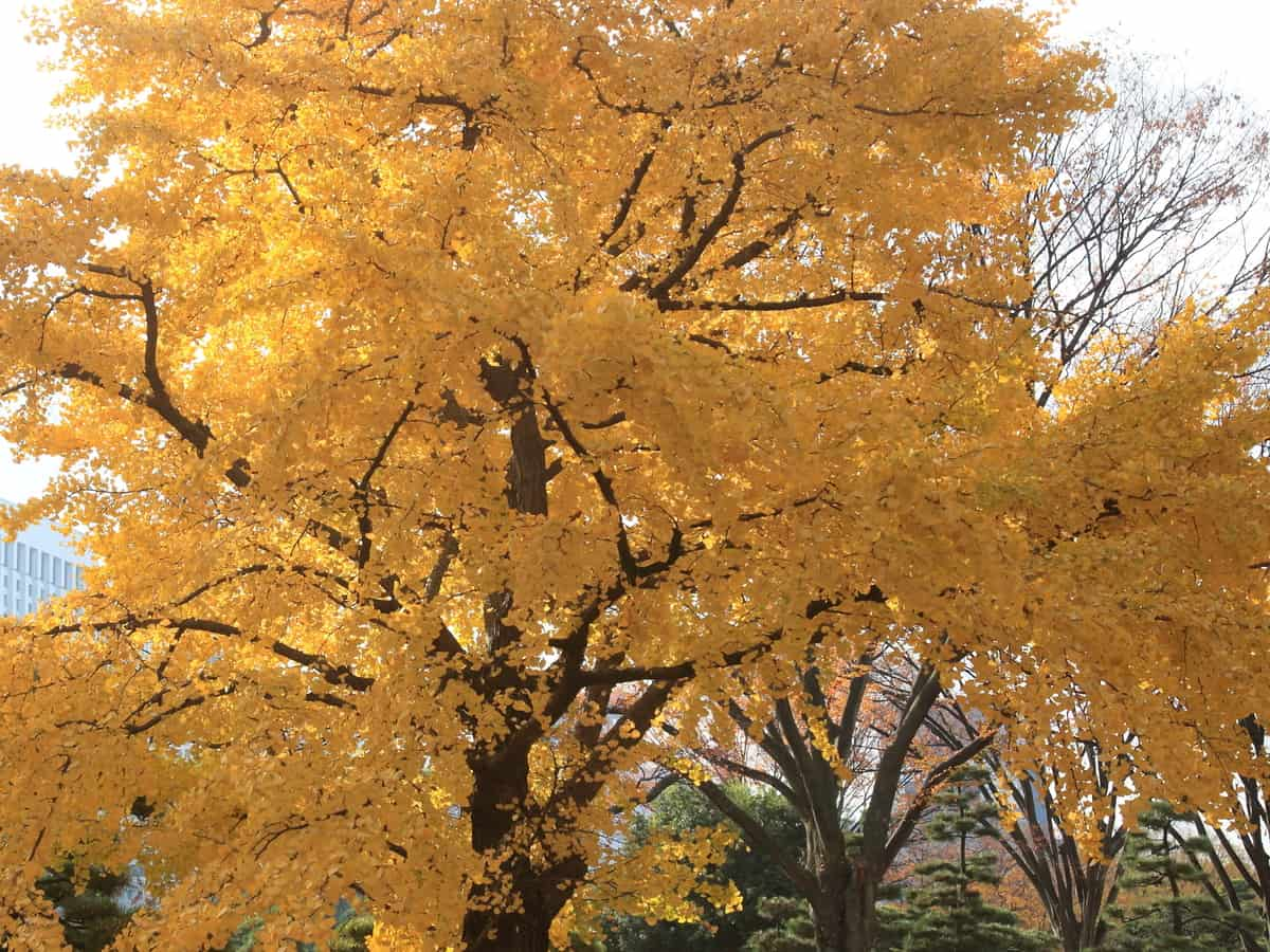 goldspire ginkgo is a colorful way to deter nosy neighbors