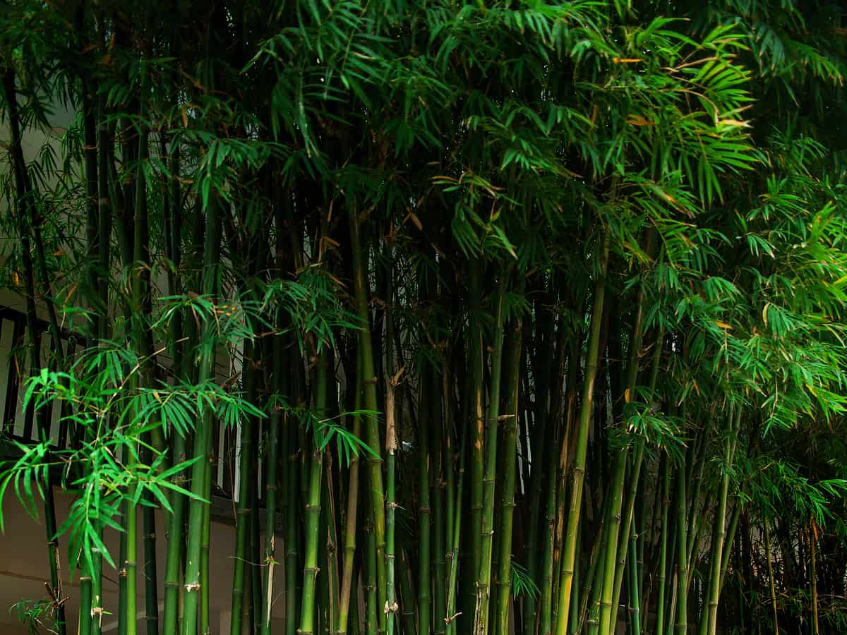 green bamboo thicket keeps out nosy neighbors