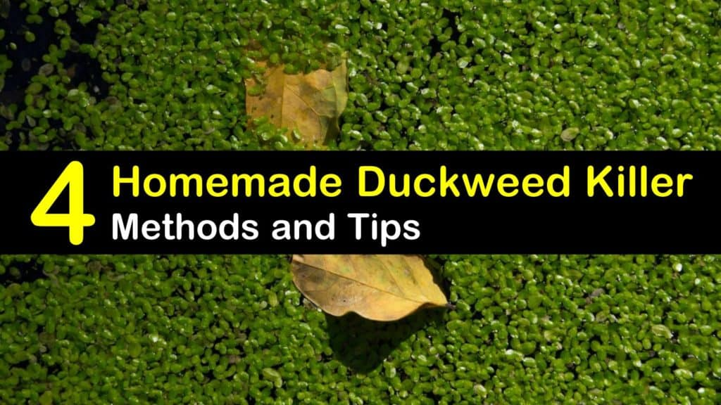 Getting Rid Of Duckweed 4 Homemade Duckweed Killer