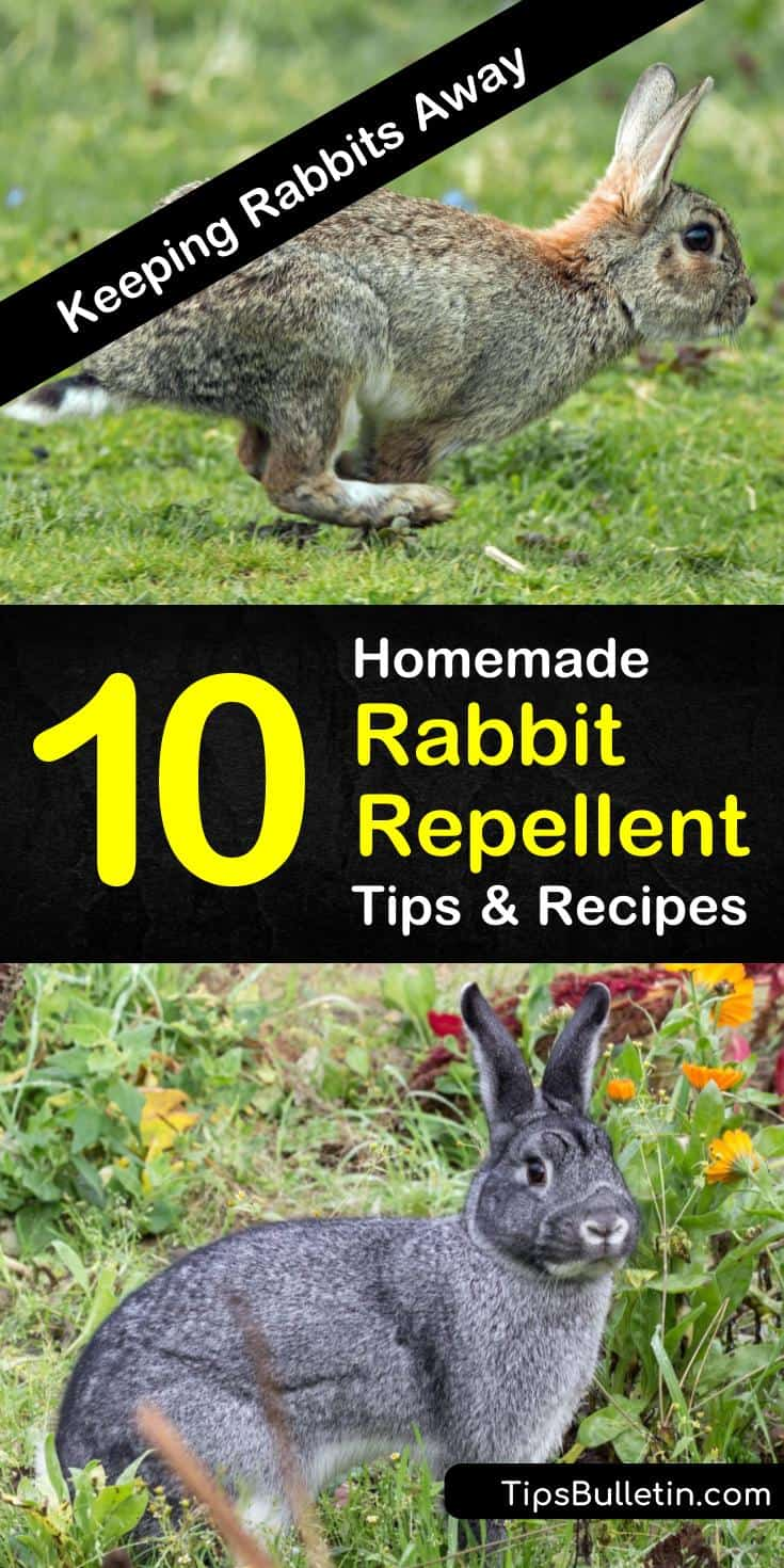 Rabbits can destroy all the plants in your garden if left unchecked. DIY homemade rabbit repellent for gardens are easy to make and use several natural ingredients you already have on hand. #rabbitcontrol #gardenpests #rabbitrepellent