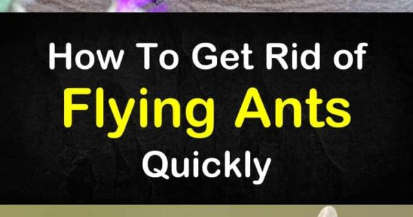 Fighting Flying Ants - How to Get Rid of Flying Ants Quickly