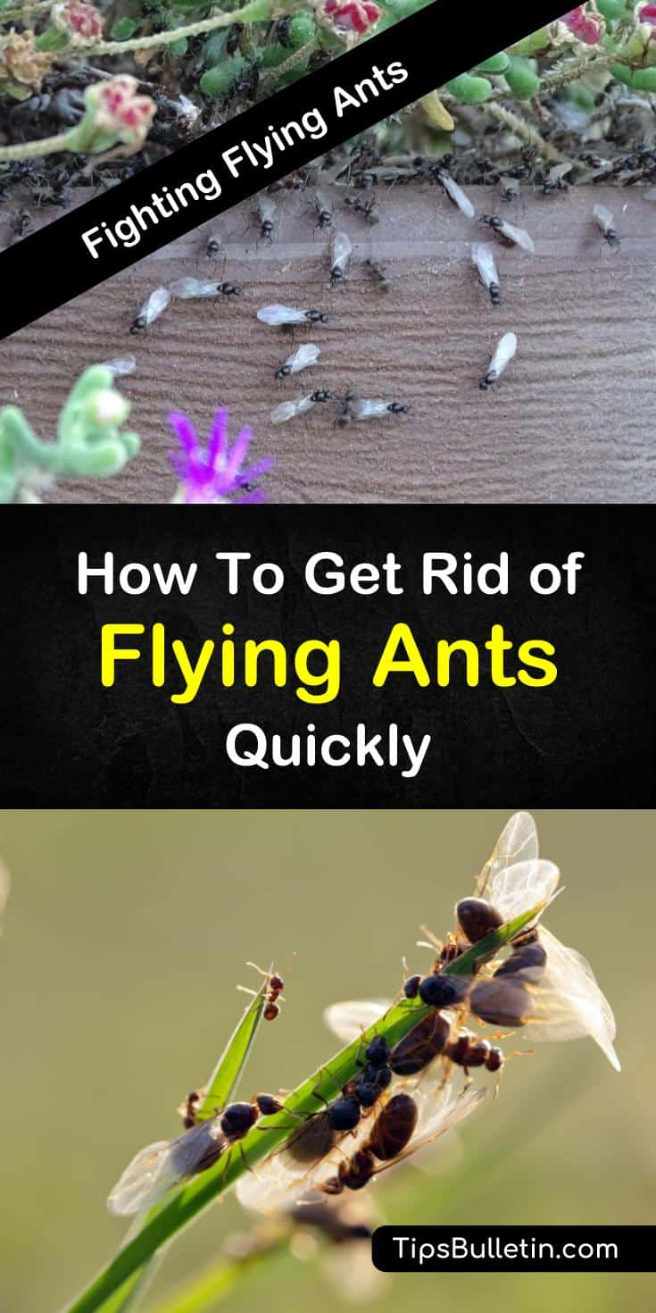Discover easy tips for how to get rid of flying ants. With simple homemade remedies, you can eliminate flying ants from in and around your home. Learn how to make easy traps using ingredients like baking soda and water. #getridofflyingants #killflyingants #ants