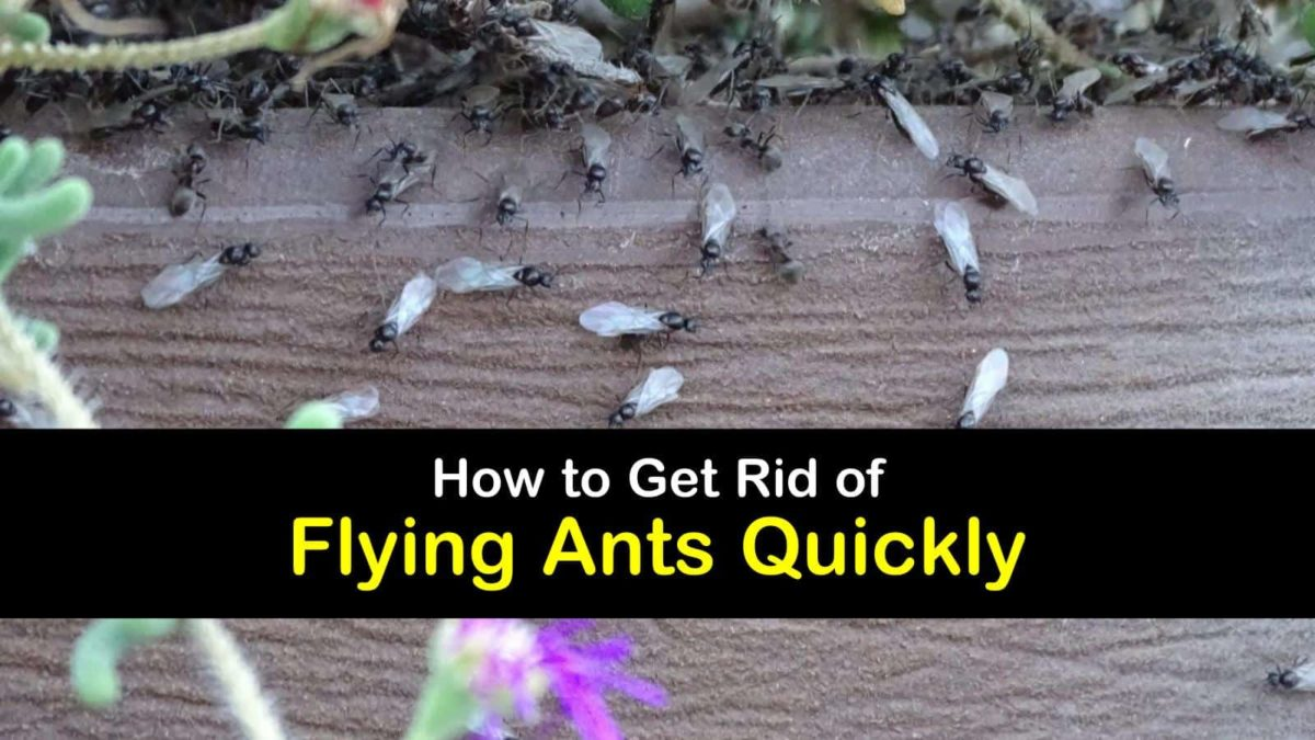 Amazing Ways to Get Rid of Flying Ants