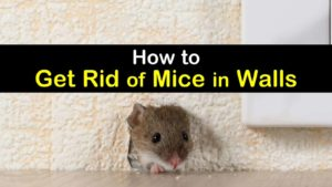 how to get rid of mice in walls titleimg1