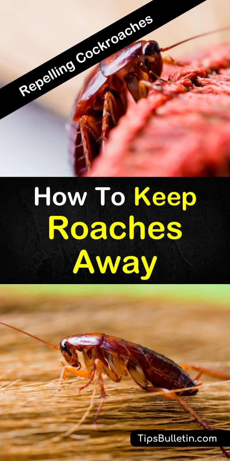 Tips and tricks on how to keep roaches away and get rid of roaches in your house. Learn the natural ways of pest control using baking soda, bay leaves, and peppermint oil. Eradicate nasty cockroaches from your home at a cheap cost. #roaches #keepaway #cockroaches