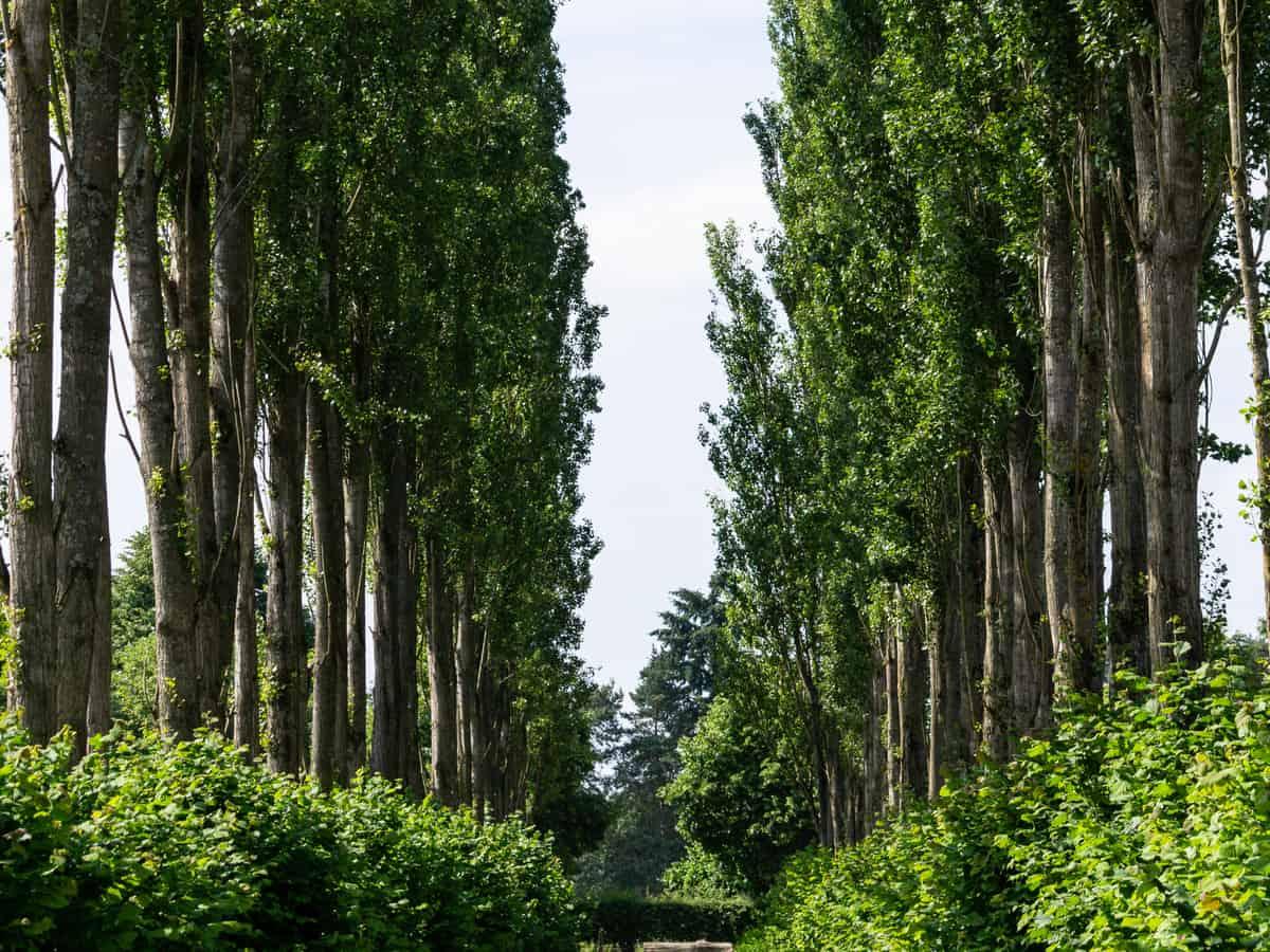 hybrid poplar trees provide lots of shade