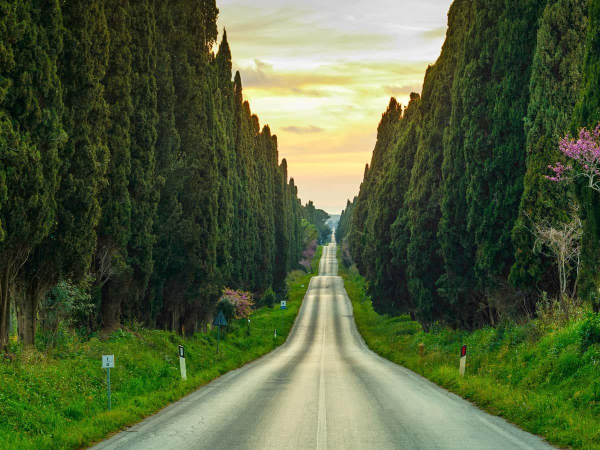 slender Italian cypress looks great in a row