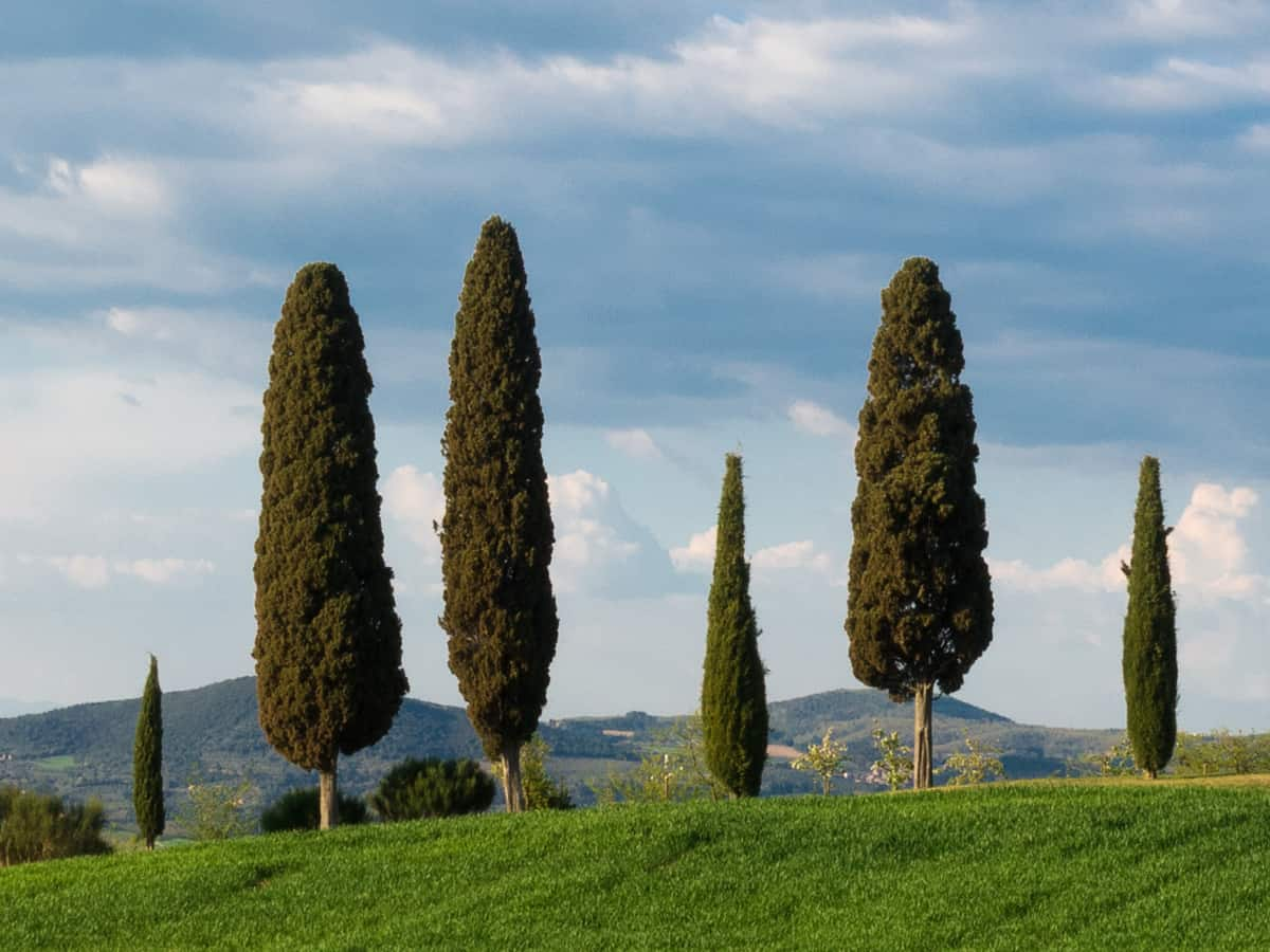 Italian cypress is a beautiful privacy plant