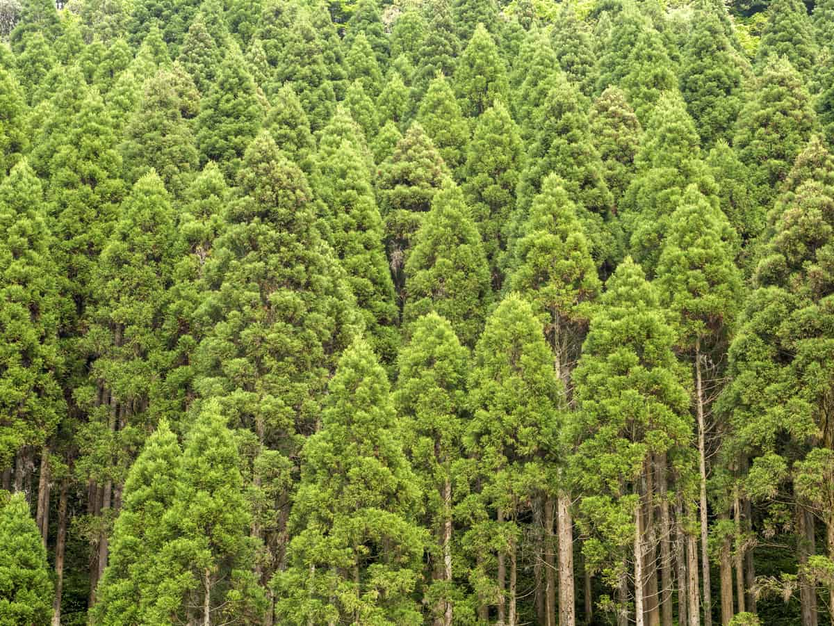 Japanese cedar is an evergreen that grows fast