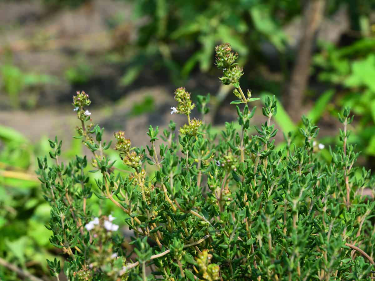 lemon thyme is versatile and repels mosquitoes