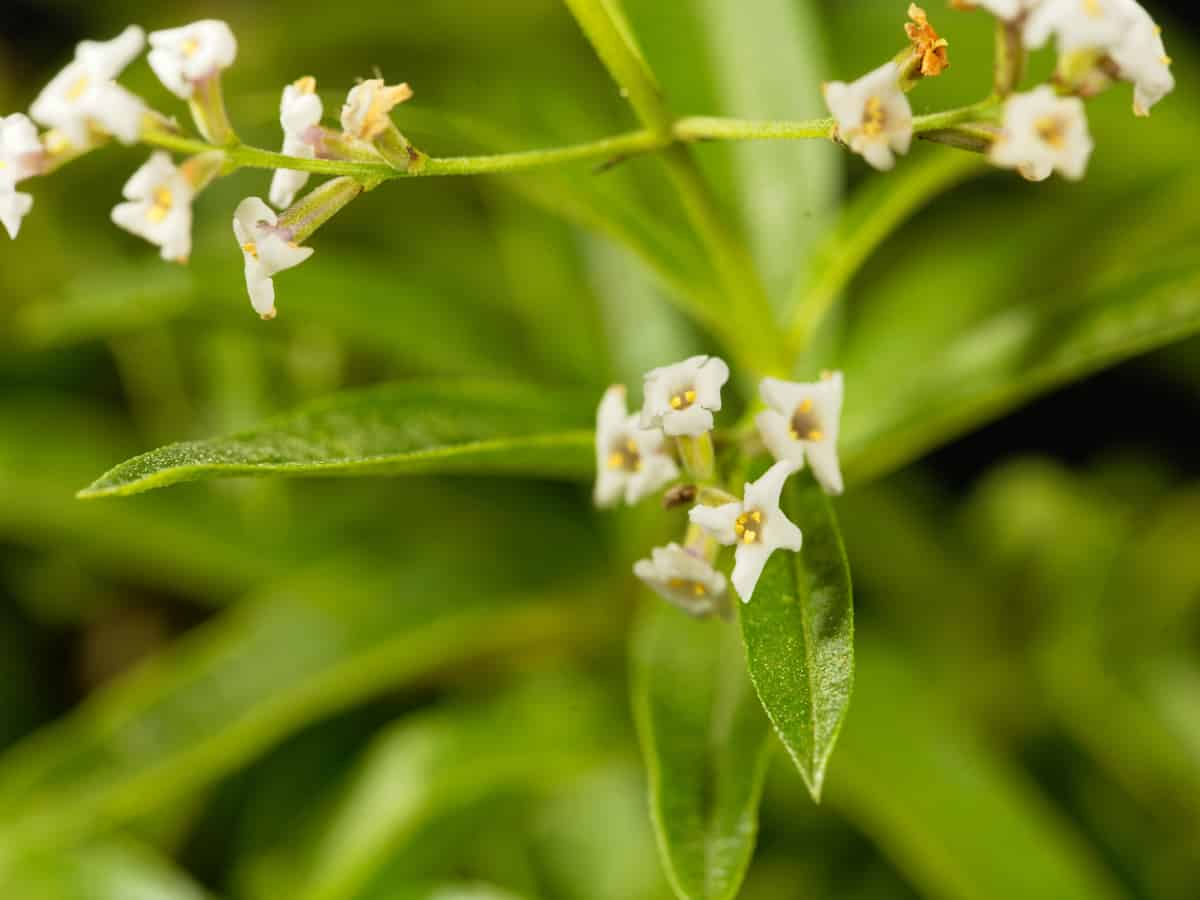 lemon verbena is another plant mosquitoes don't like