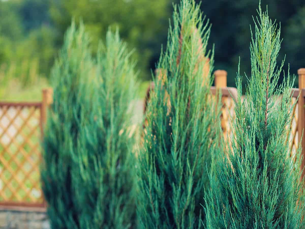 leyland cypress is an attractive privacy hedge