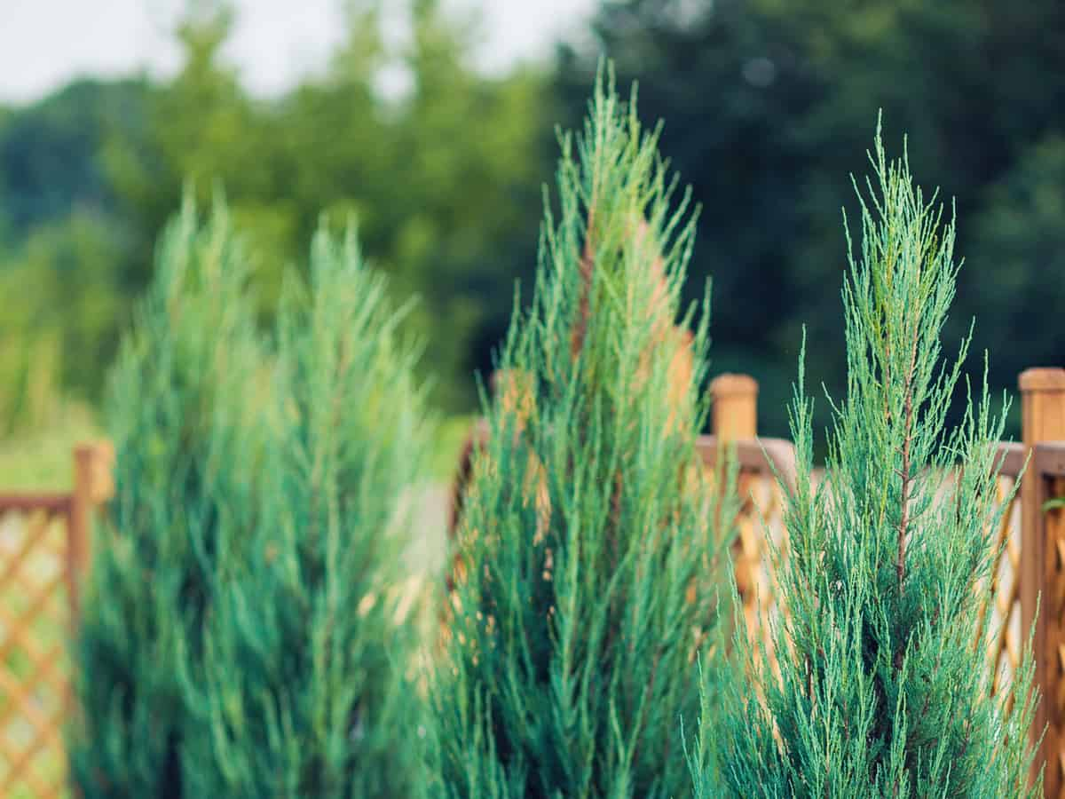 leyland cypress is a fast-grower