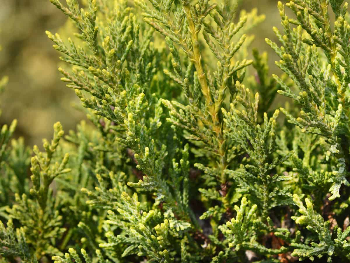 leyland cypress offers an excellent evergreen border
