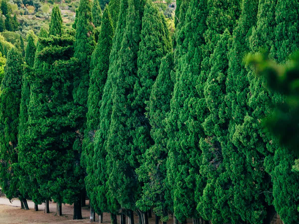 leyland cypress offers privacy