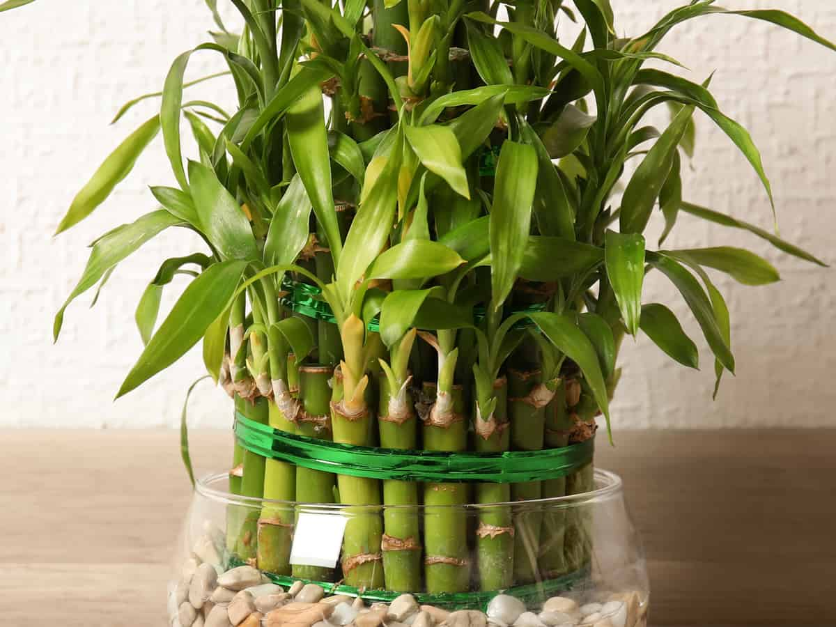 lucky bamboo is a houseplant that isn't really bamboo at all