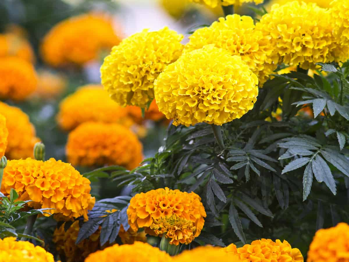 marigolds repel mosquitoes and a variety of other insects in the garden
