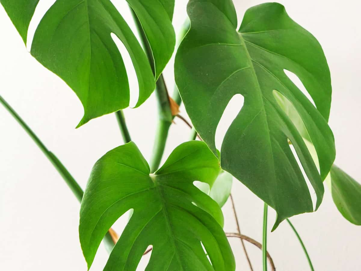 monstera is also known as the Swiss cheese houseplant