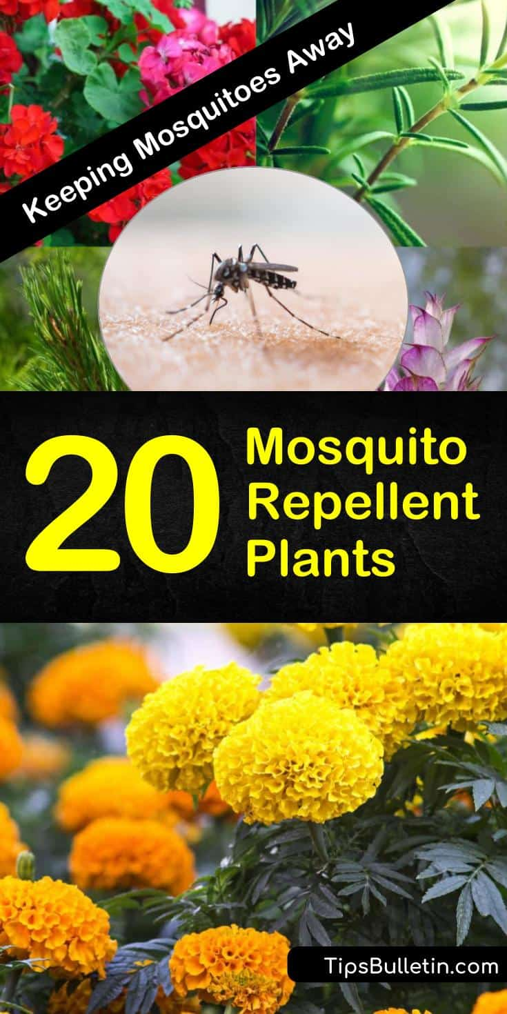 Learn how to fill your landscaping with mosquito repellent plants to keep your yards and decks comfortable all year round while still looking beautiful. #mosquitorepellent #plants #mosquito