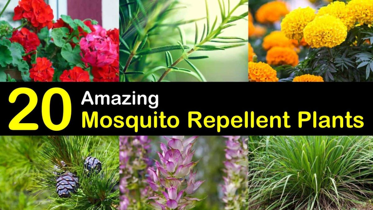 Keeping Mosquitoes Away - 21+ Mosquito Repellent Plants