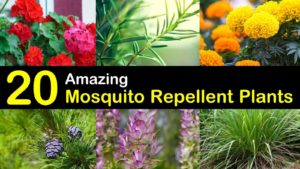 mosquito repellent plants titleimg1