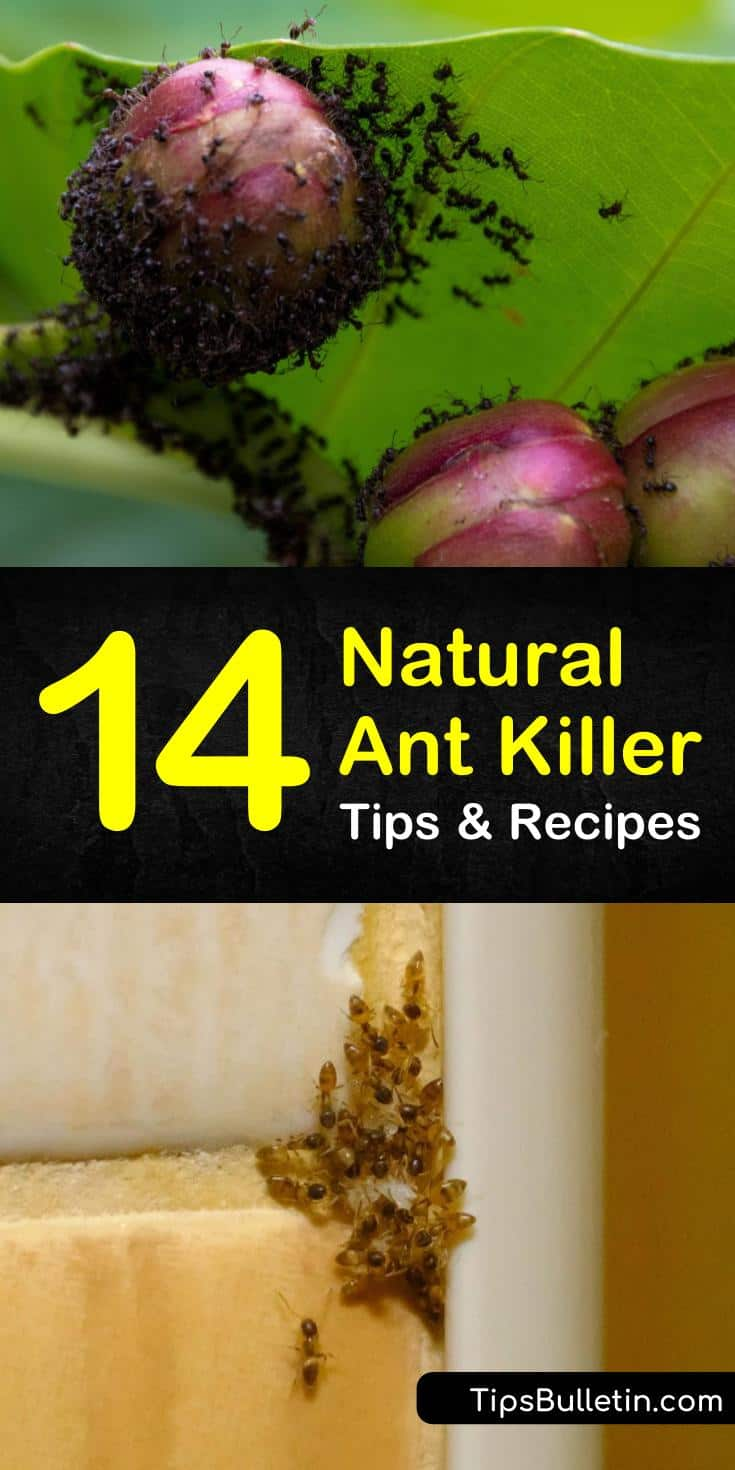 Learn the best natural ant killer methods for outside and indoors. These pest control tips are safe for pets and are perfect for home and for garden use. #ants #naturalantkiller #pestcontrol