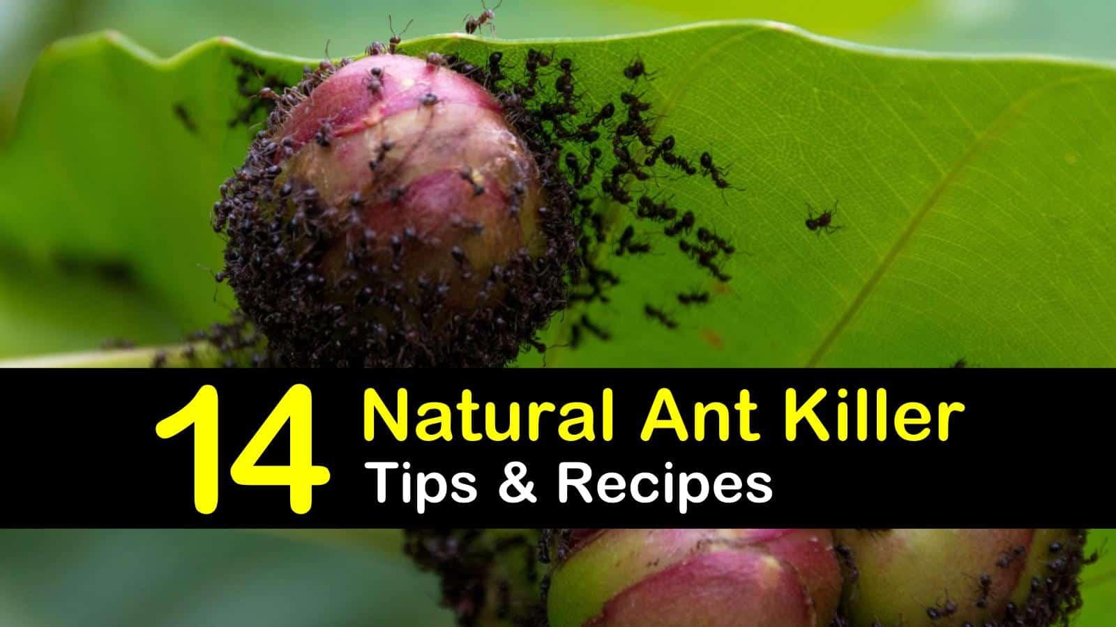 natural ant killer titleimg1