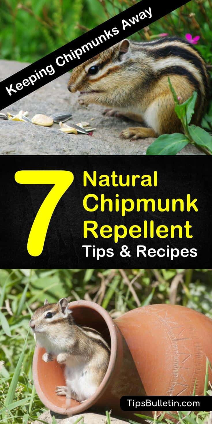 Find out how to get rid of chipmunks and other animals using natural rodent control methods. Your yards and gardens will be safe from burrowing critters with these homemade natural chipmunk repellent tips. #naturalchipmunkrepellent #rodentcontrol #chipmunks