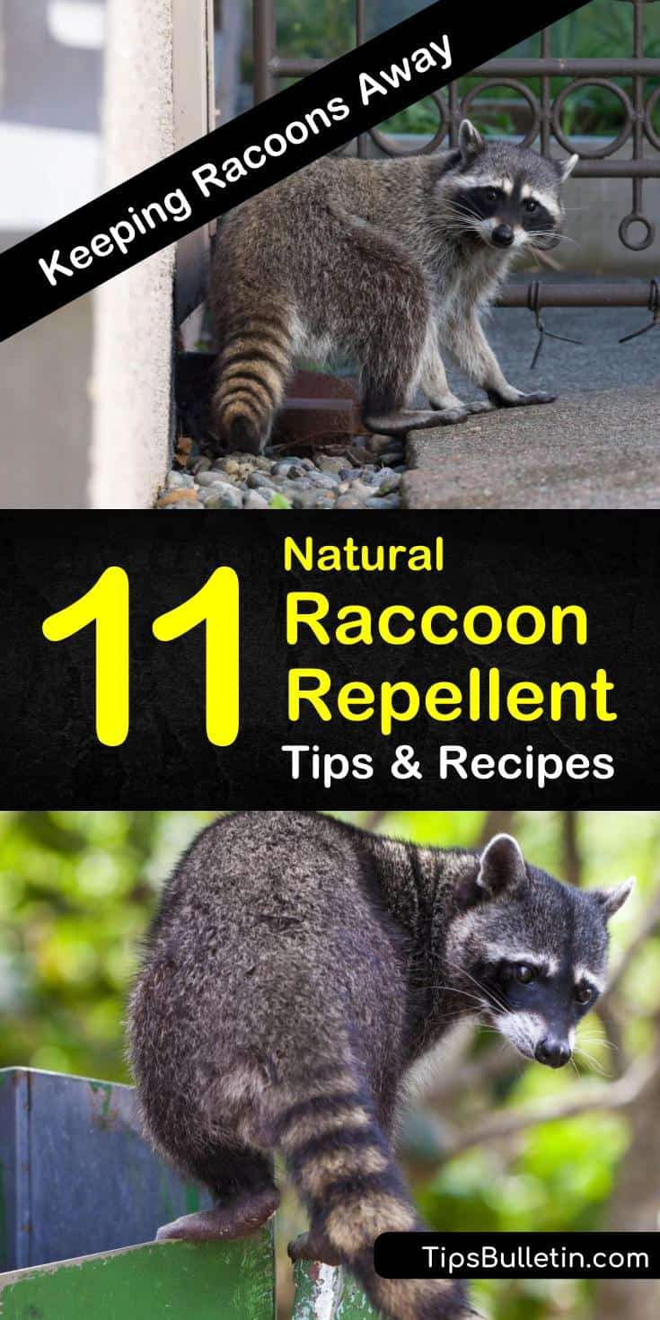Discover how to make a natural raccoon repellent to keep unwanted animals out of your plants, yards, and gardens. Use these pest control methods to keep your home raccoon-free. #raccoons #raccoonrepellent