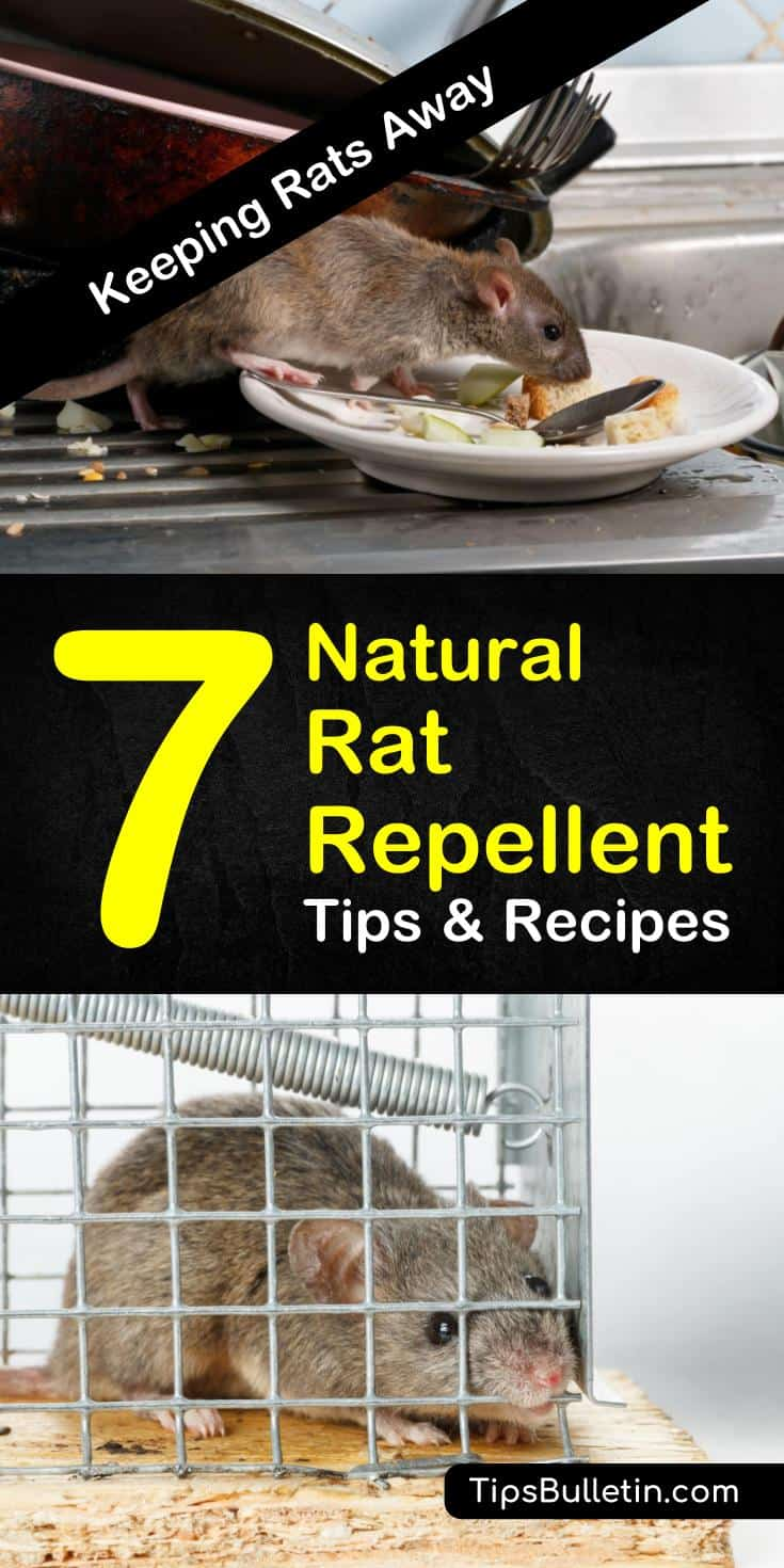 Find out how you can protect your home from rodents with these natural rat repellent tips. With homemade recipes and methods that will teach you how to get rid of mice, pest control will be easier than ever. #diypestcontrol #ratrepellent #peppermintoil
