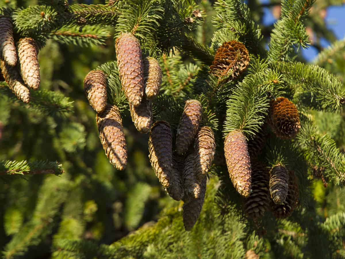 Norway spruce is an evergreen