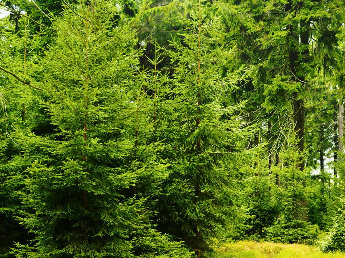 Norway spruce tree branches hang downward