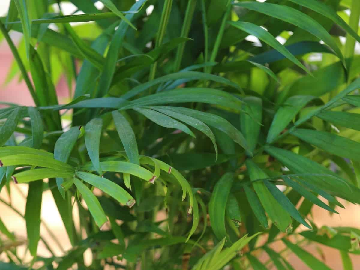parlor palm is a great low light houseplant