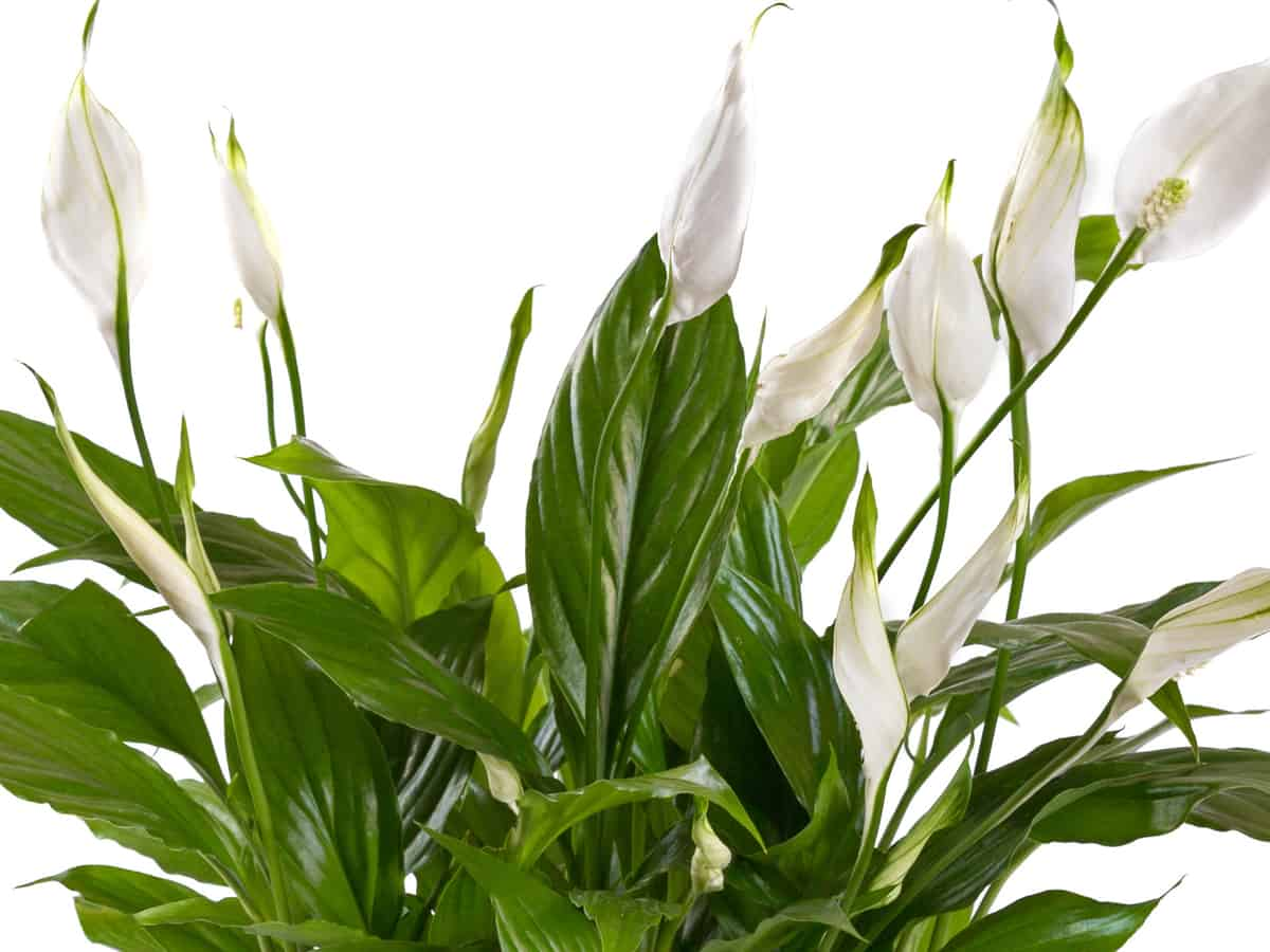 peace lily is not actually a lily